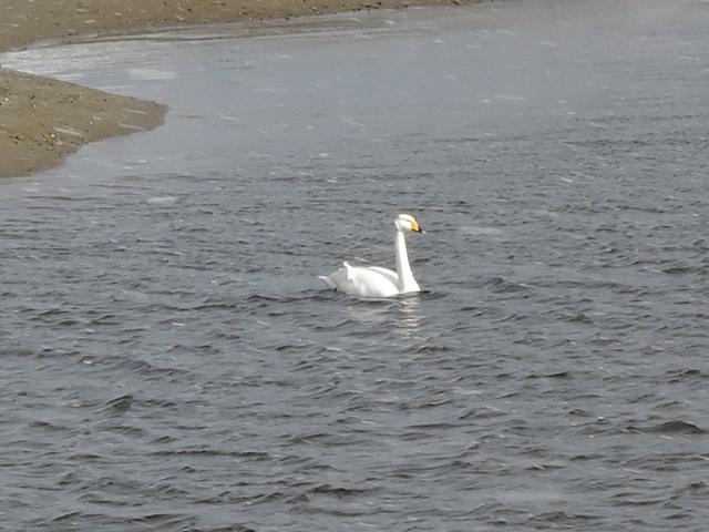 米代川河口 白鳥20160102