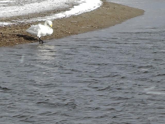 米代川河口 白鳥20160103