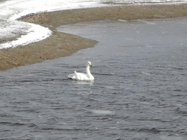 米代川河口 白鳥20160104