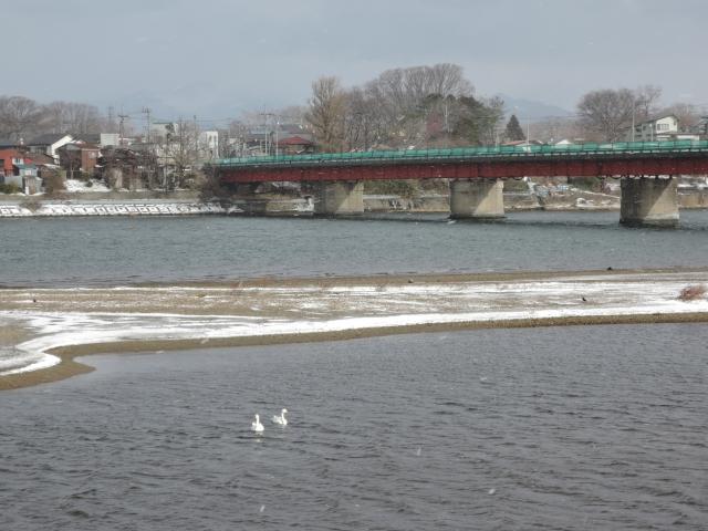 米代川河口 白鳥20160106