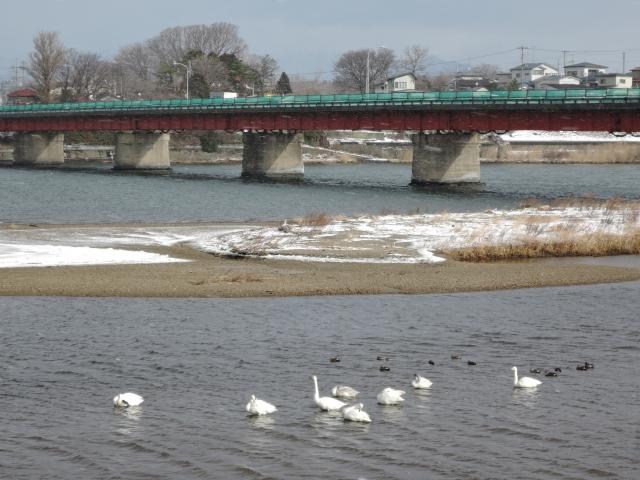米代川河口 白鳥20160107