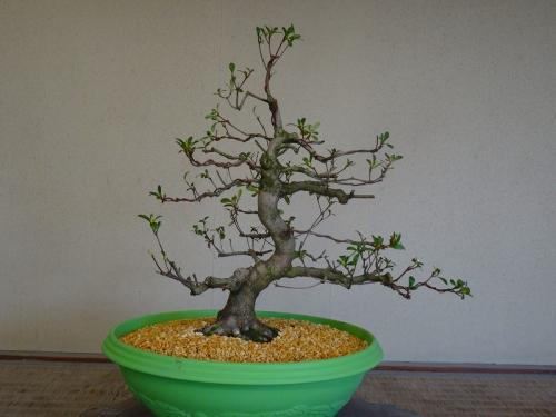 白恵比須(若恵比須の枝変わり)DSC01172