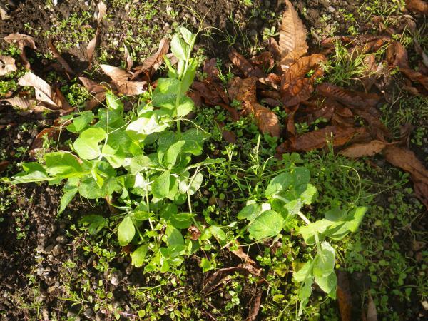 エンドウ豆の苗
