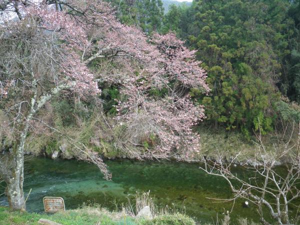 1分咲きの我が家の桜