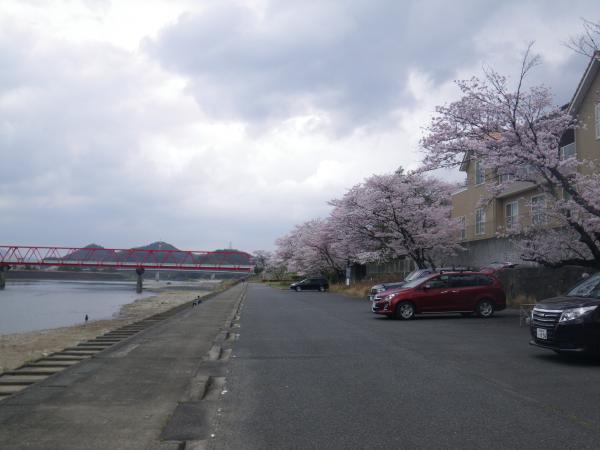関観光ホテル前の桜並木
