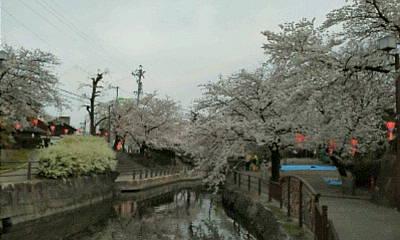 清水川の桜