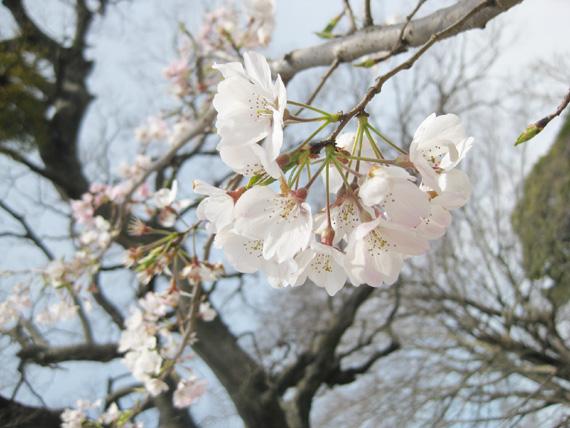 桜2016-02