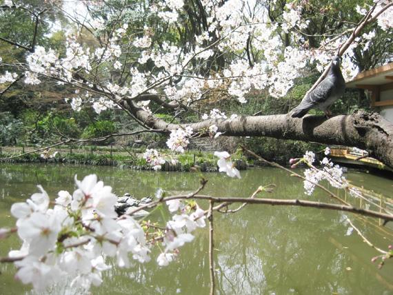 桜2016-01