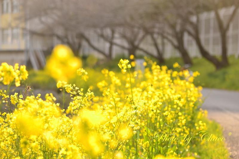 菜の花の帰り道