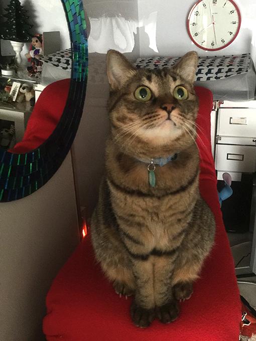 2015年09月27日撮影のキジトラ猫クーちゃん 1