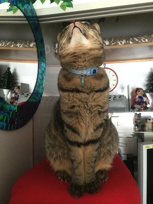 2015年09月27日撮影のキジトラ猫クーちゃん 3
