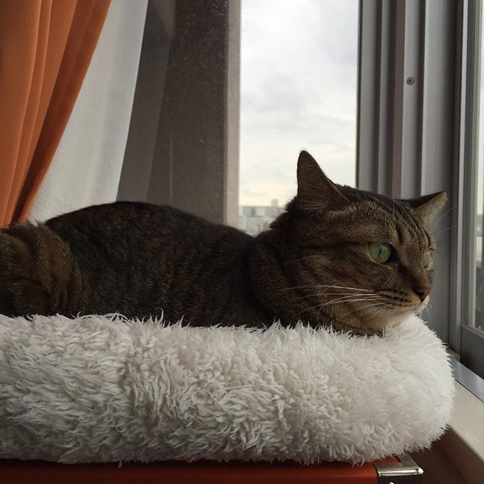 2015年10月01日撮影のキジトラ猫クーちゃん