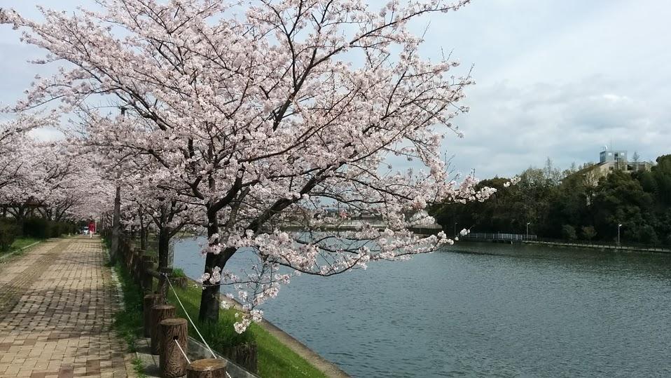 sakura-chikugo2.jpg
