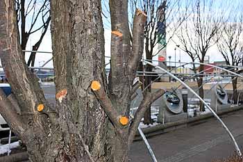 20160303_桜の木剪定1