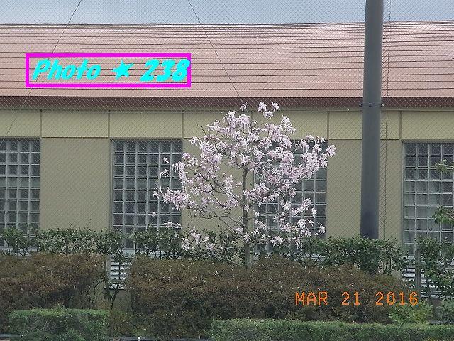 辛夷 (こぶし)の花?