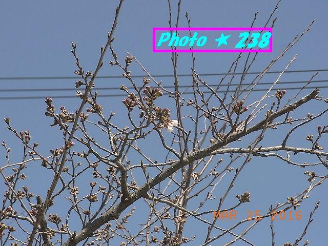 20160325桜①
