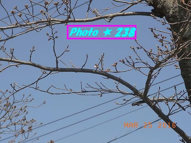 20160325桜②