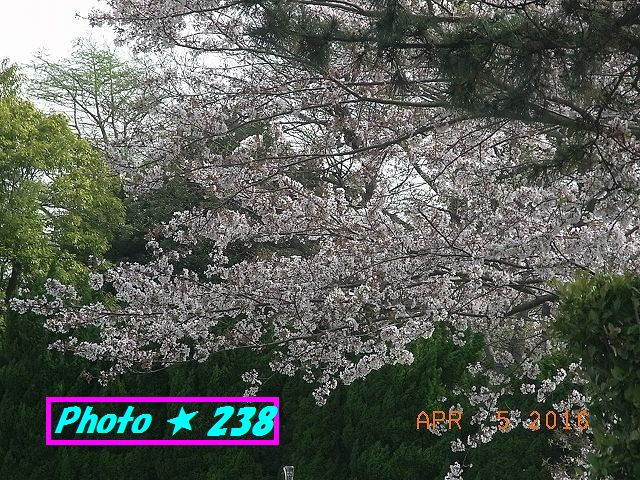 ハマイン裏の桜