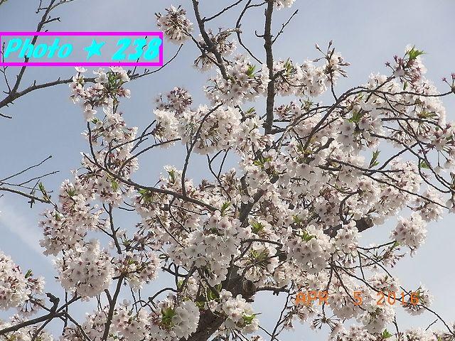公民館前の桜①