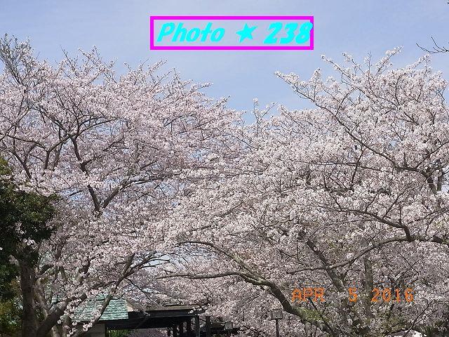 公民館前の桜②