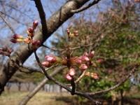 ロケセット裏の桜 3月20日