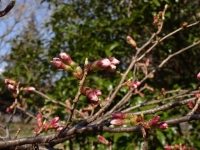 ロケセット裏の桜2 3月20日
