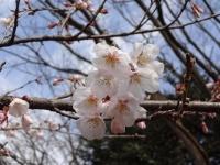 ロケセット裏の桜 3月24日 アップ