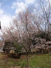 ロケセット裏の桜 3月24日 全体