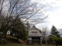 蔵座敷とロケセットの間の桜 3月24日 全体