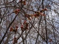 蔵座敷とロケセットの間の桜 3月24日 部分