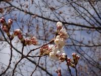 3月26日 蔵座敷とロケセットの間の桜 部分