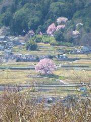 2015年4月2日 わに塚の桜