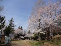 4月1日 ロケセットと蔵座敷の間の桜