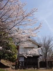 4月1日 ロケセットと蔵座敷の間の桜2