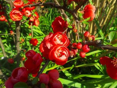 160317 木瓜の花
