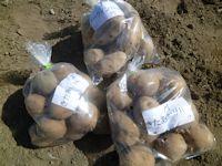 ちゃんとした種イモは3kg