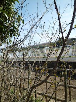 庭の山椒1