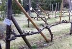 160403 (55) - ブドウ樹