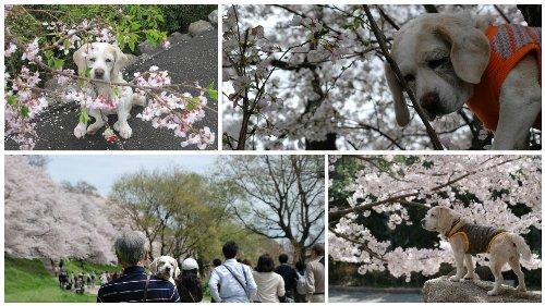 2016桜思い出