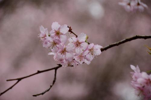 初御代桜8