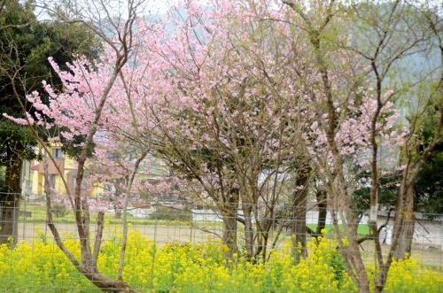 初御代桜2