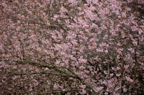 満開の初御代桜 (2)