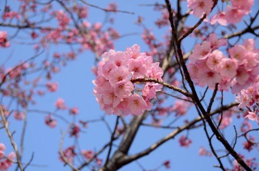 陽光桜 (8)