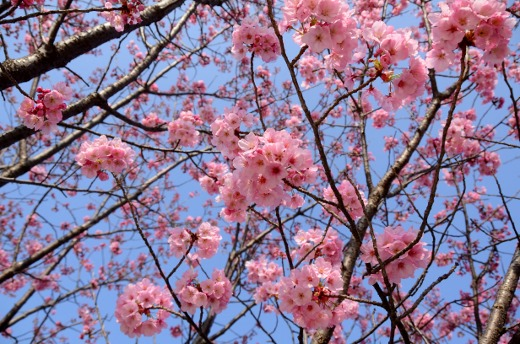 陽光桜 (3)