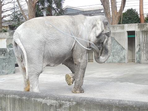 アジアゾウのはな子@井の頭自然文化園g