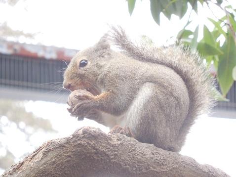 井の頭自然文化園@武蔵野市 クルミをかじる二ホンリス