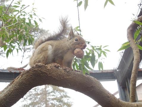 井の頭自然文化園@武蔵野市 クルミをくわえた二ホンリス