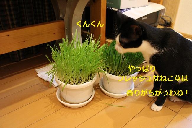 ねこ草のかおり