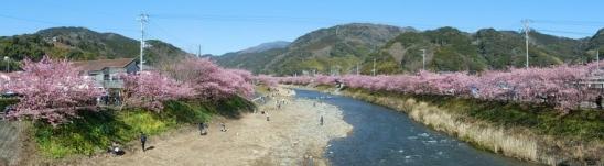 河津桜パノラマ