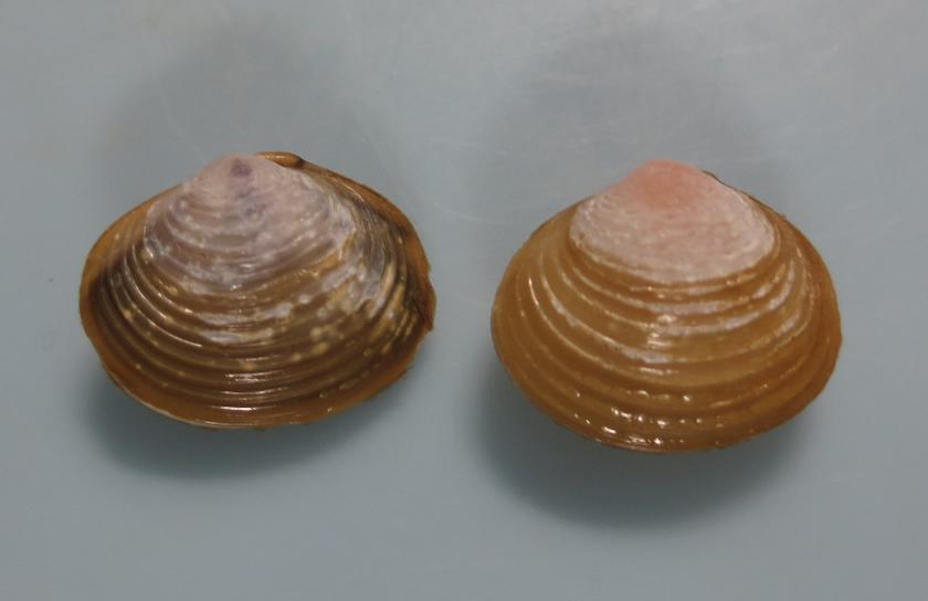 Corbicula sp